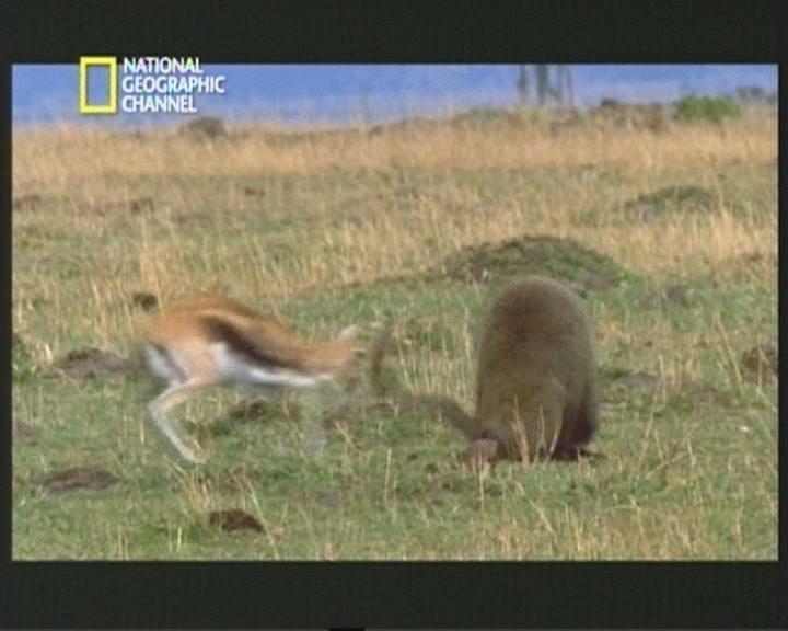 Gacela luchando con Babuino por su Bebe