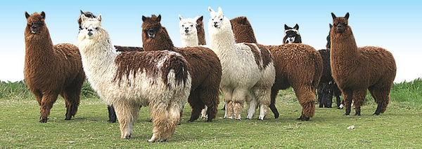 Alpaca Family Index du Forum